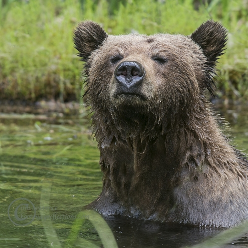 Grizzly Bear in her morning bath