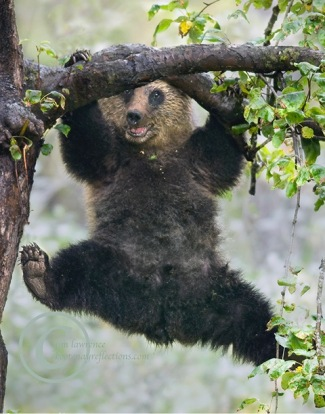 acrobat-bear