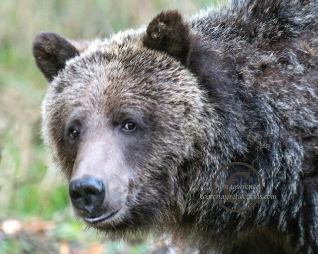 bear-bad-tooth-oct-30-2014-orig_dsc8264