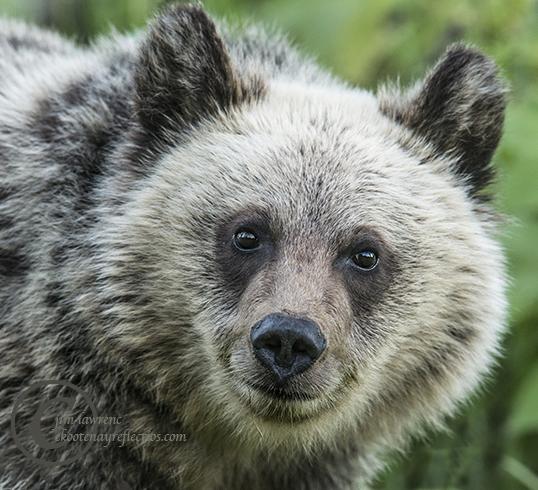 smiling-cub-grzzly-cub-__dsc2376